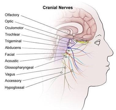 Kranio sakral terapi 12 nerver